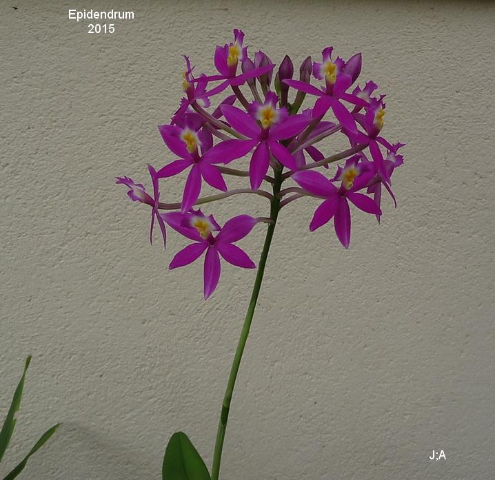 Epidendrum 150418062233105278