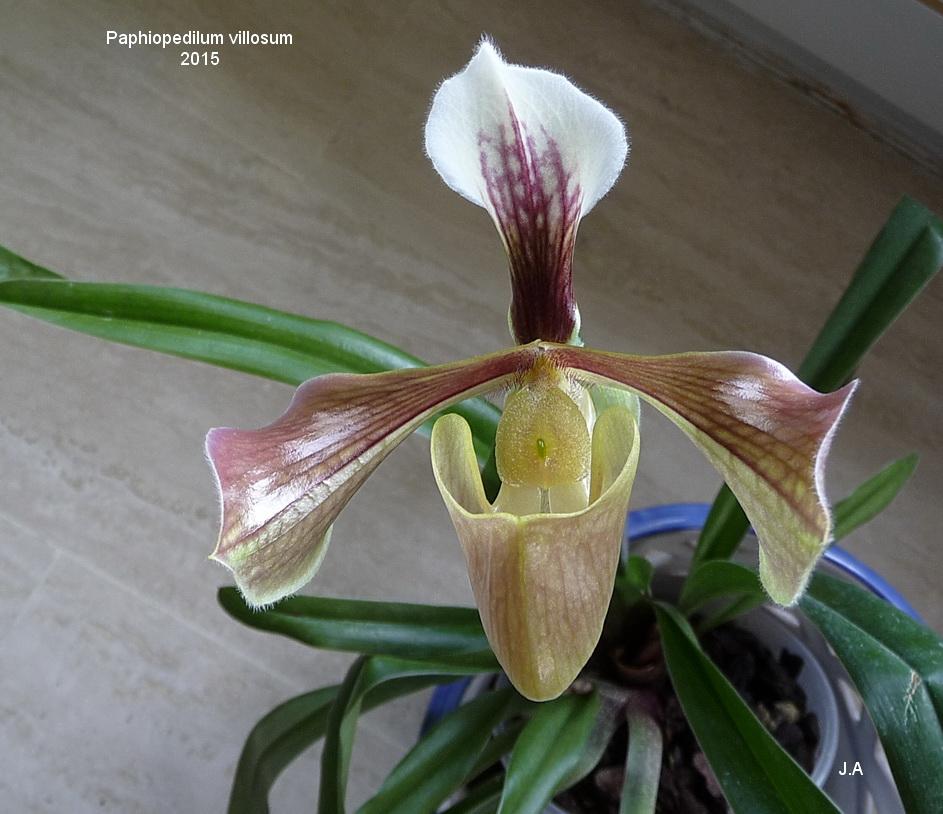 Paphiopedilum villosum 150512060419581716