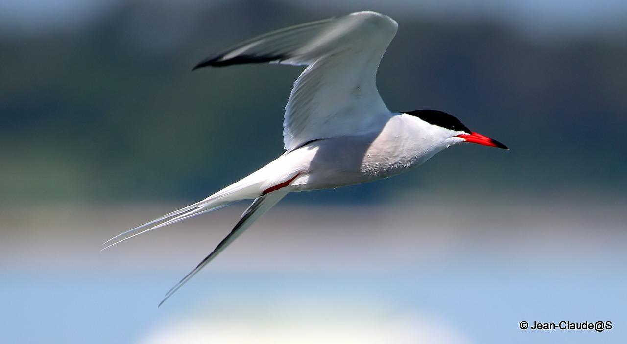 Les oiseaux de la Ria d'Etel 15052406313225393