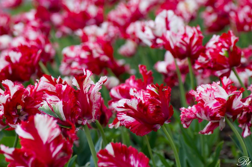 Fête de la tulipe à Morges  15052908344120904