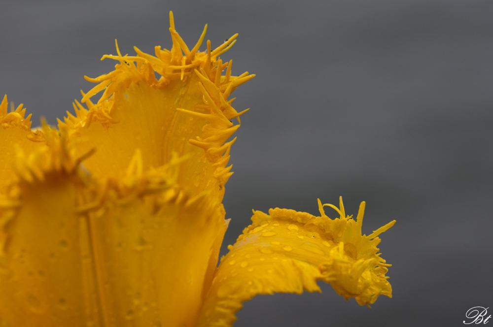 Fête de la tulipe à Morges  150529083441234851