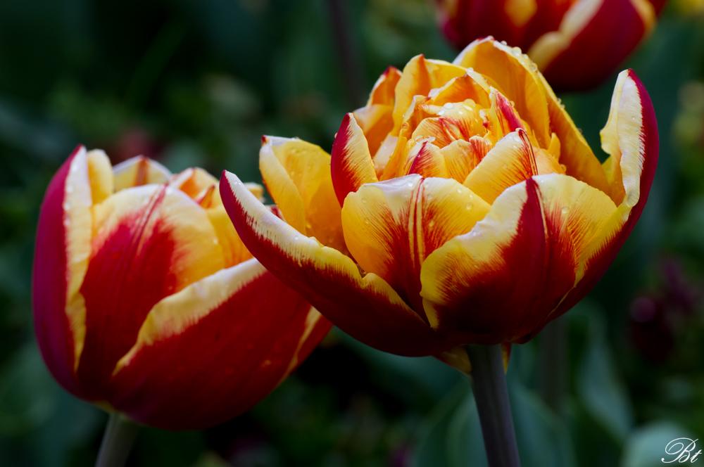 Fête de la tulipe à Morges  15052908345767382