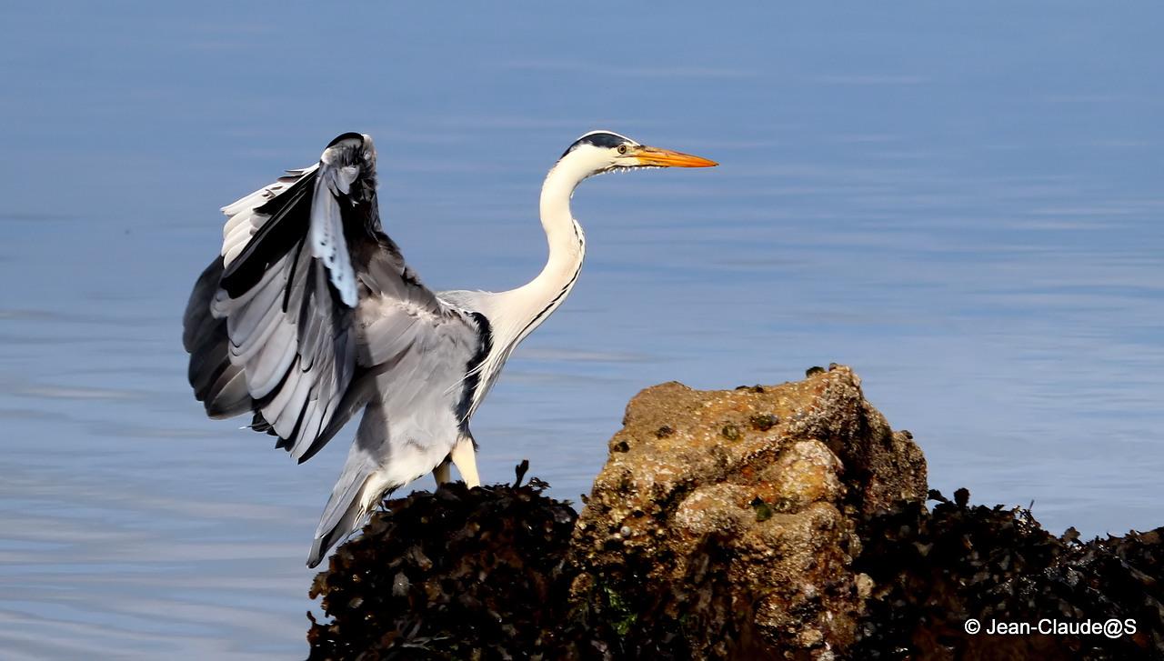 Les oiseaux de la Ria d'Etel - Page 2 15053010265187728