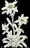 edelweiss-petit