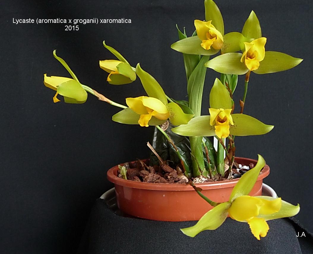 Lycaste (aromatica x groganii) x aromatica 150602030021656701