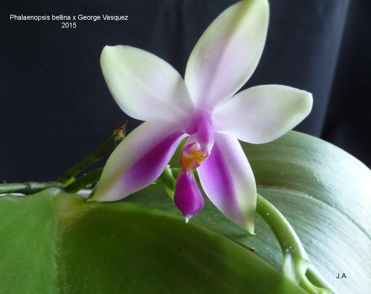 Phalaenopsis Lin Huong Sen 150629061925951656