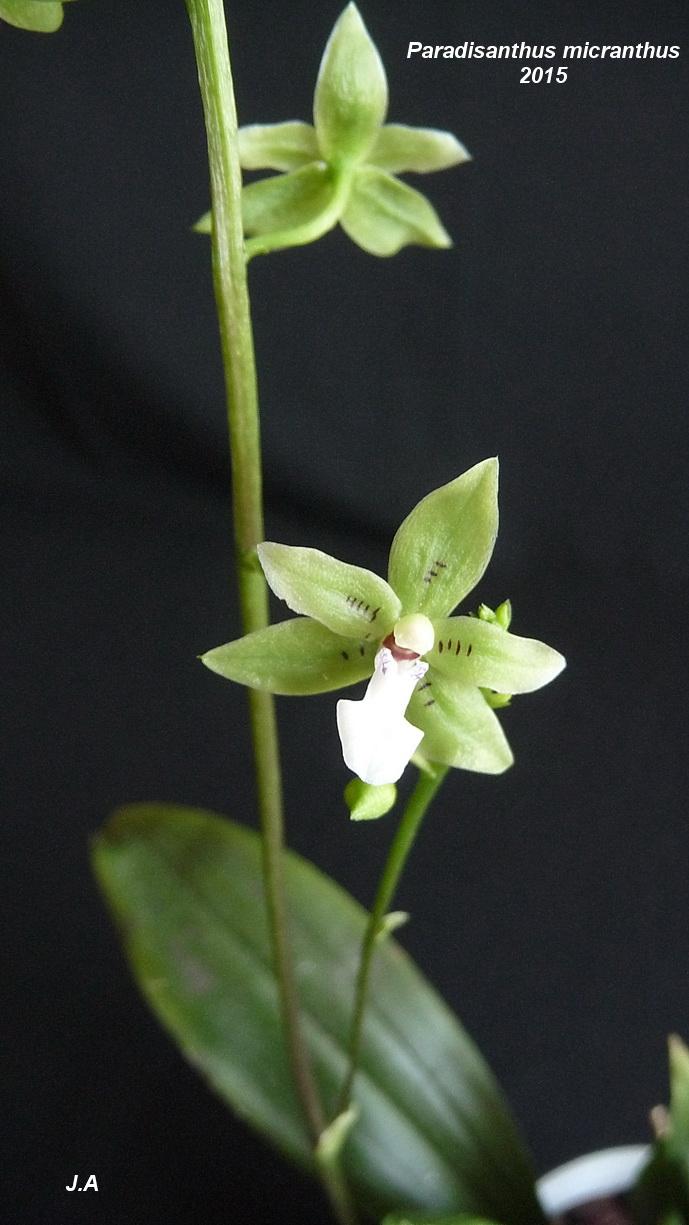 paradisanthus micranthus 150706043952222056