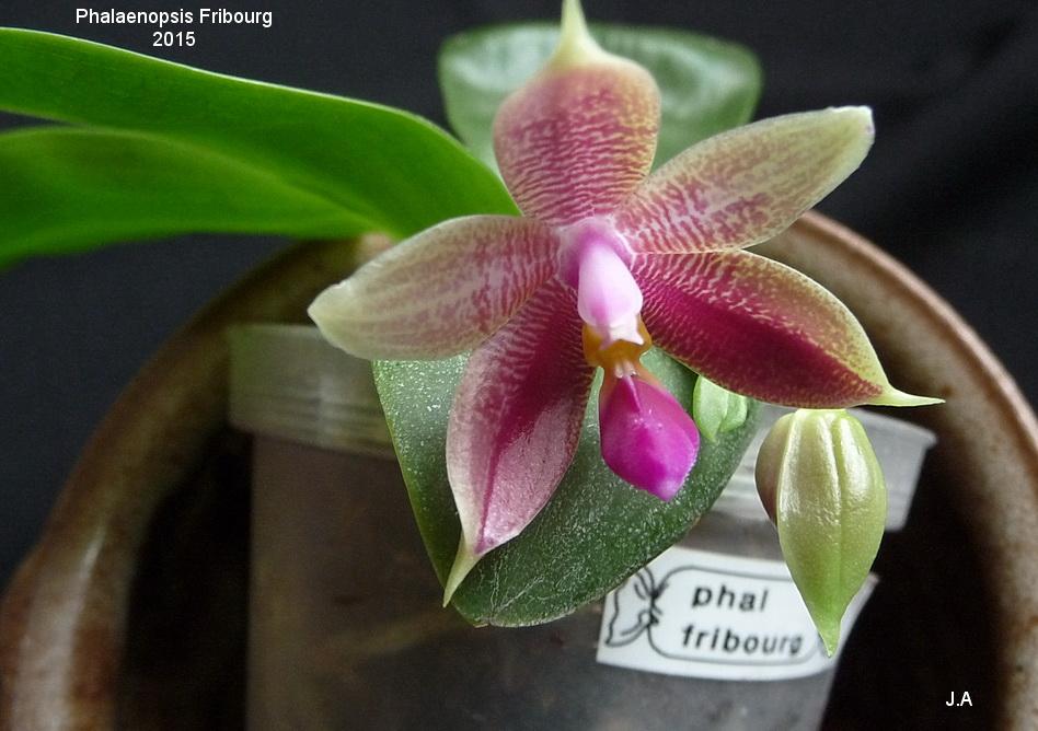 Phalaenopsis Fribourg 150727043850886473