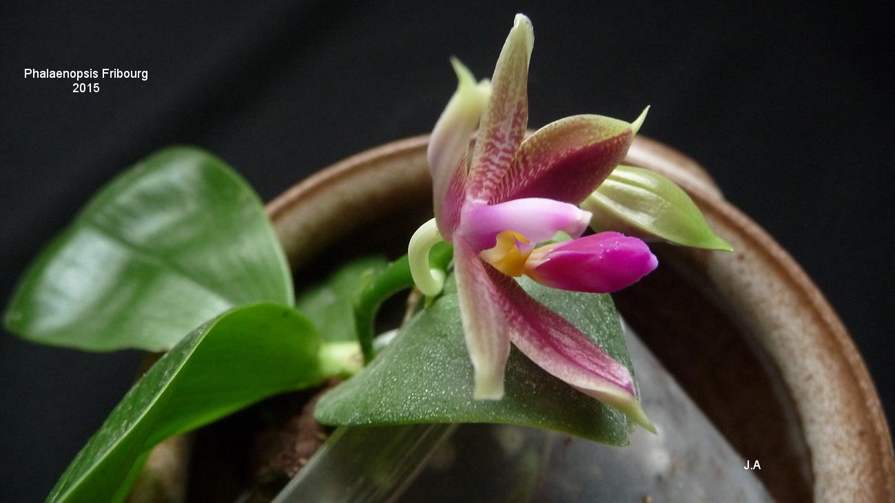 Phalaenopsis Fribourg 150727044248936362