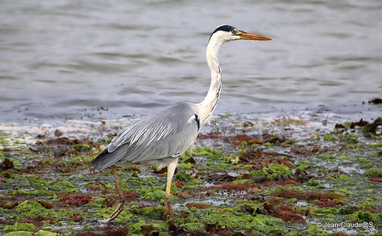 Les oiseaux de la Ria d'Etel - Page 2 150728040810211664