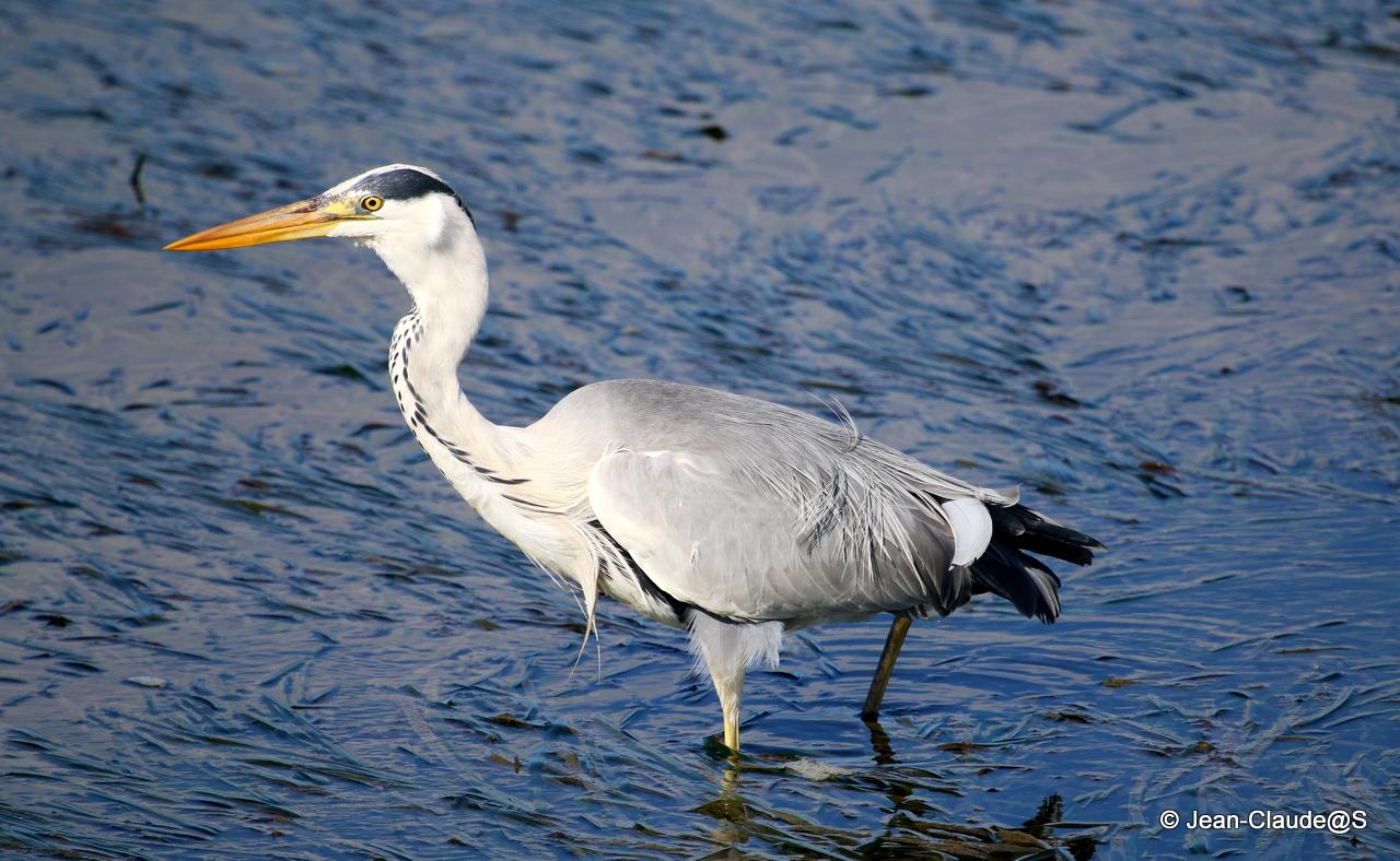 Les oiseaux de la Ria d'Etel - Page 2 150729120820935511
