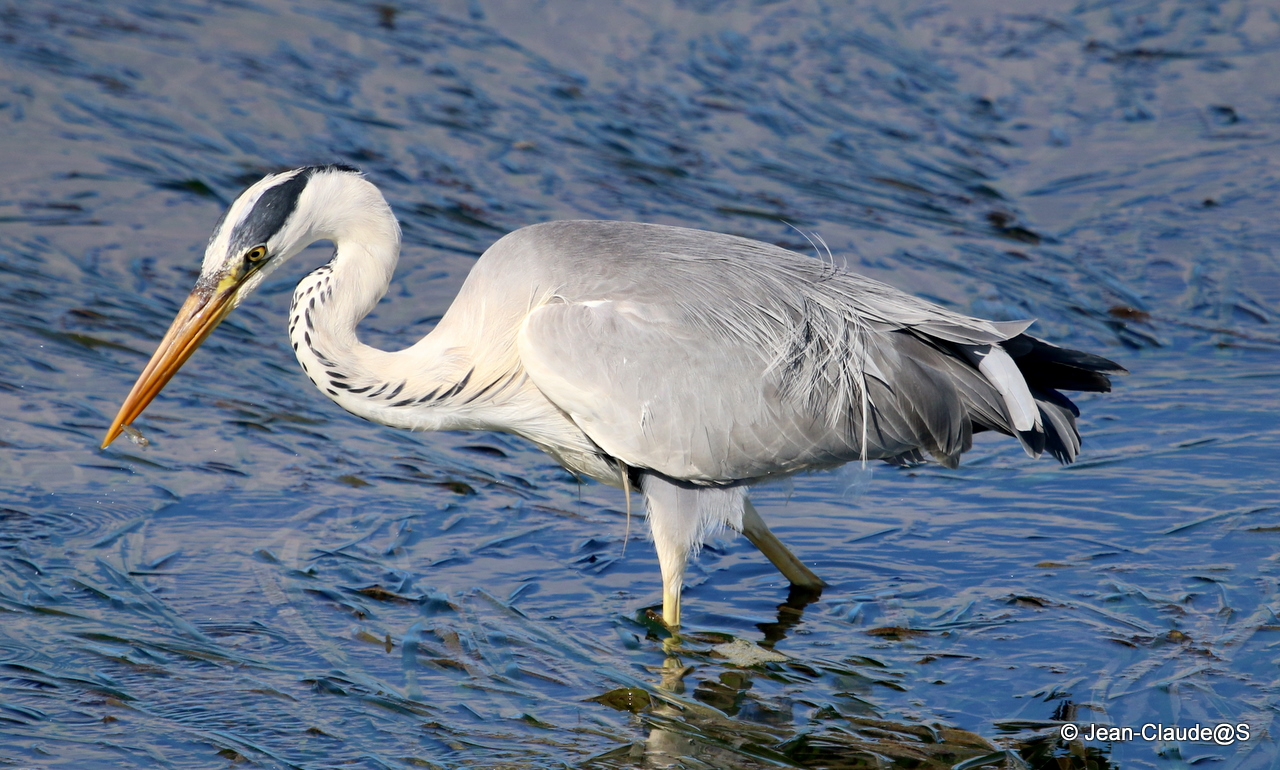 Les oiseaux de la Ria d'Etel - Page 2 150729120826450339
