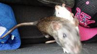 Les petits ratous kinder de miss Tagada 🐀 - Page 5 Mini_150729020636471297