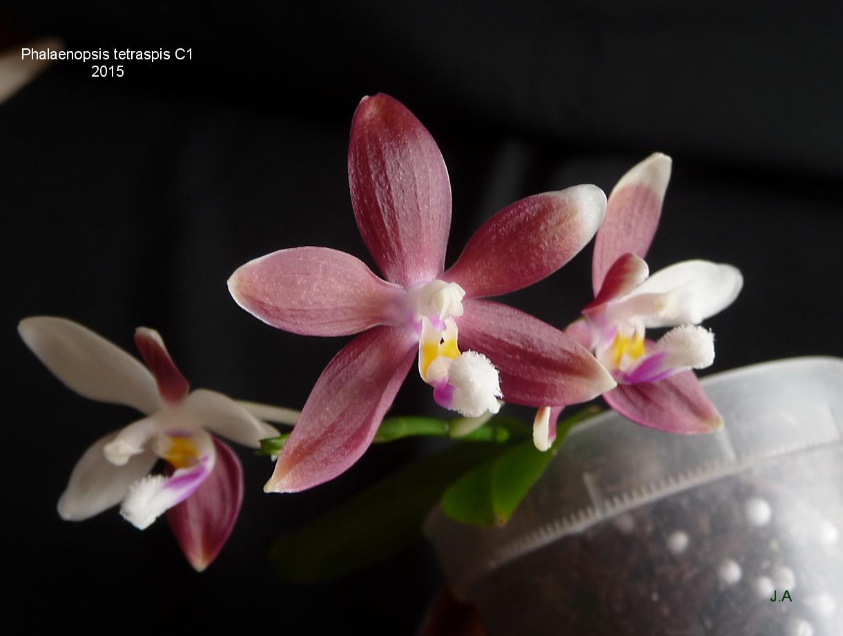 Phaenopsis tetraspis C1 150801111221363029