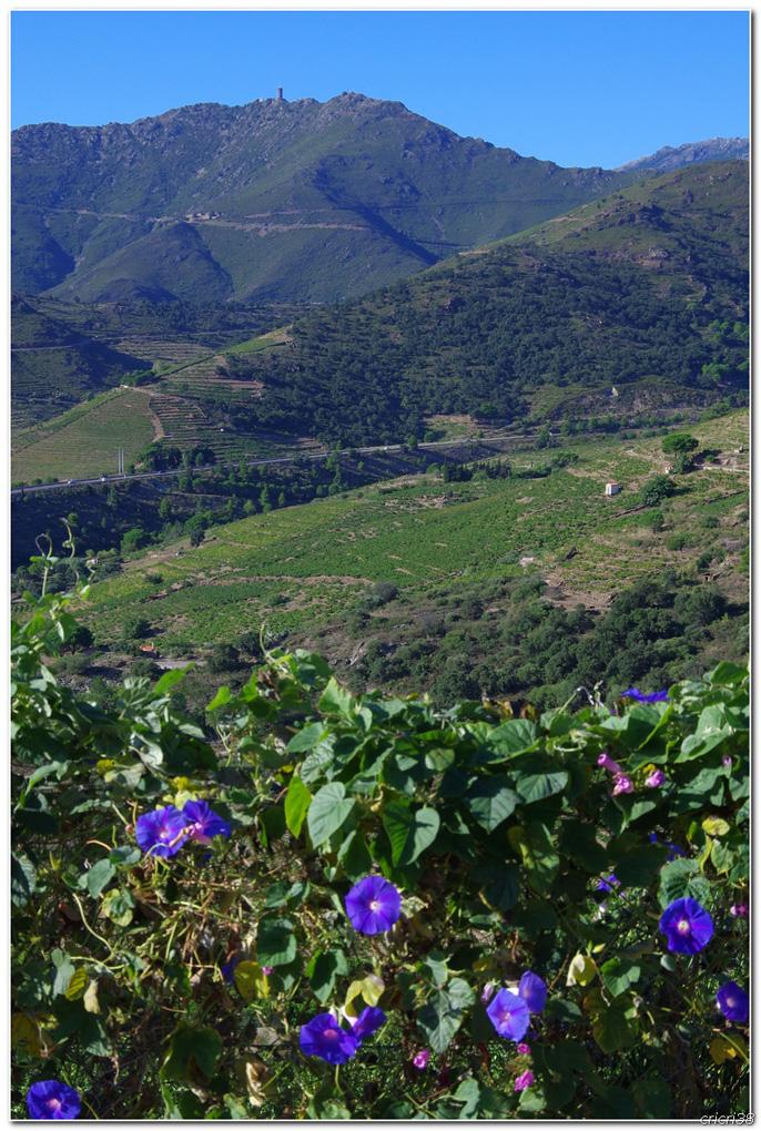 Vue sur les Vignobles de  Banyuls et de la tour  Madeloc 150929105957251375