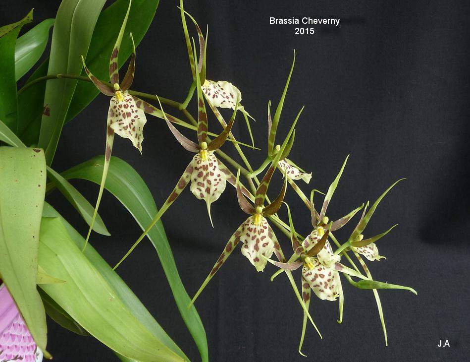 Brassia Cheverny 151005035834834165