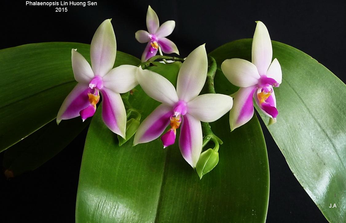 Phalaenopsis Lin Huong Sen 151005044909963351