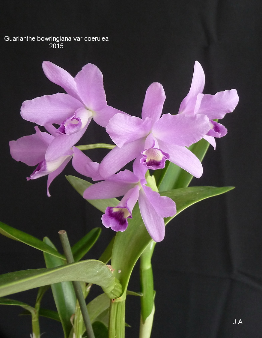 Guarianthe bowringiana var coerulea 151018021239404765