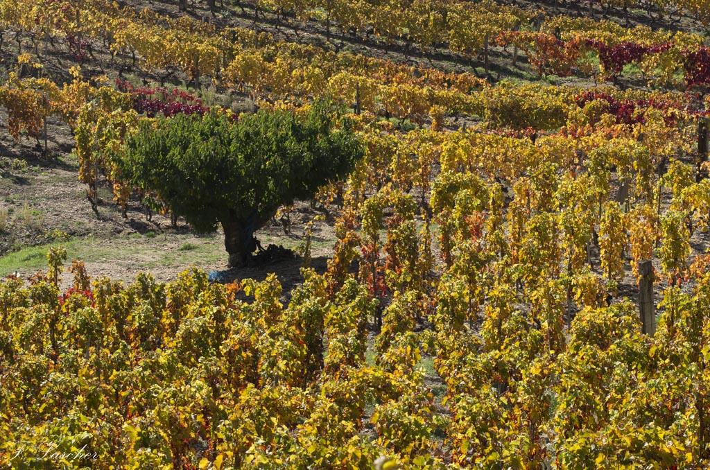 Couleurs d'automne dans le vignoble ardéchois 151114074228725344