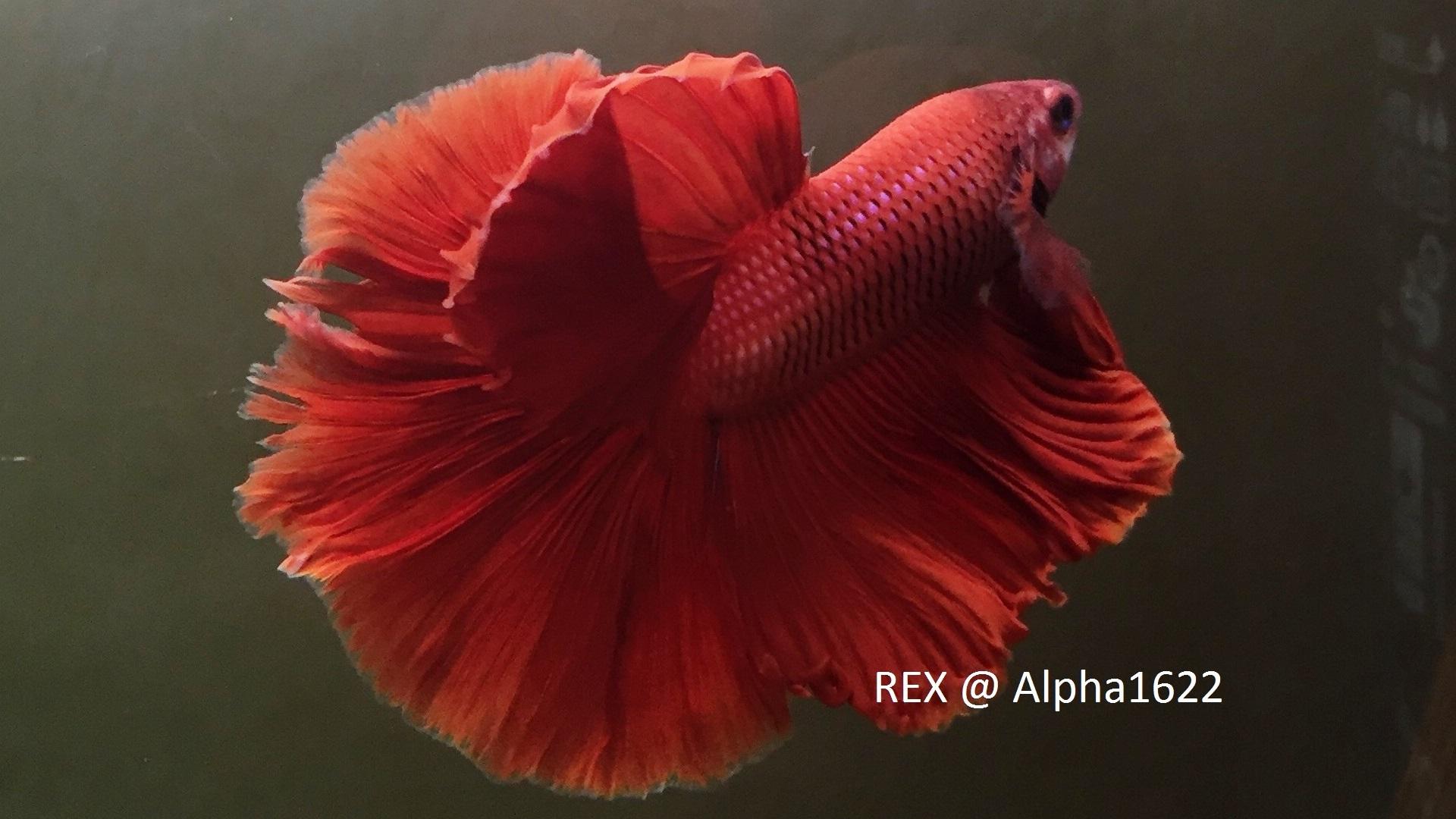 Rex, mon halfmoon (rosetail ?) 151115125854176045