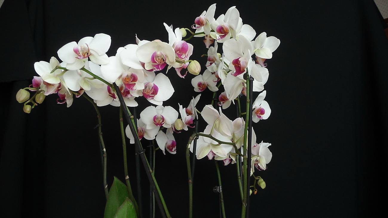 Phalaenopsis Hybrides 151122083559404479