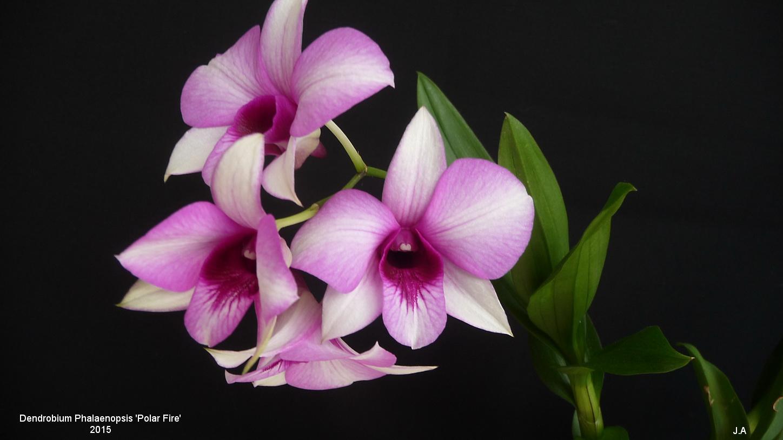 Dendrobium  type Phalaenopsis 'Polar Fire' 151123100055127706