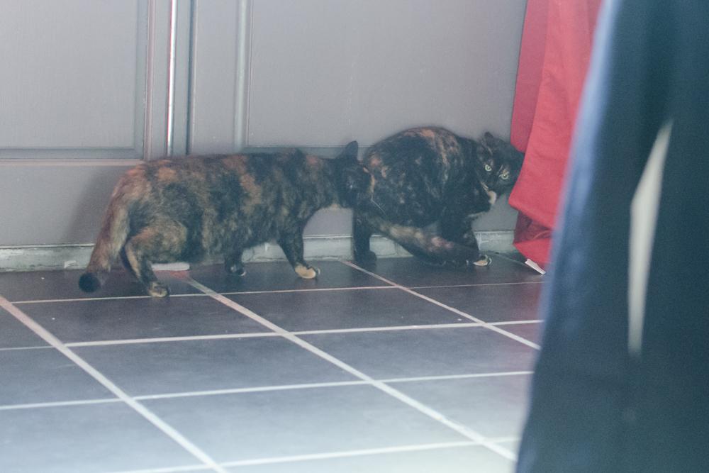 Chipo (anciennement Laurelle), femelle type européen écaille de tortue née 15/04/2015 - Page 2 151129115632941192