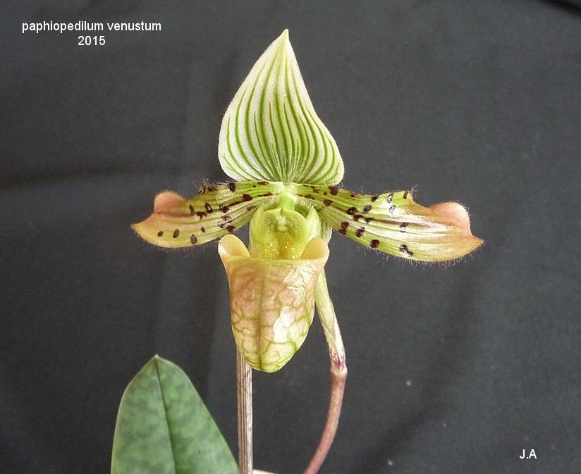 Paphiopedilum venustum 151221040926341630