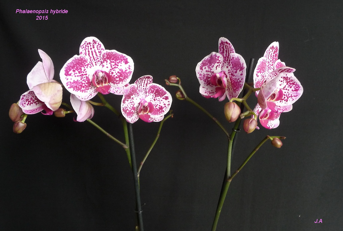 Phalaenopsis Hybride 151222042259828910