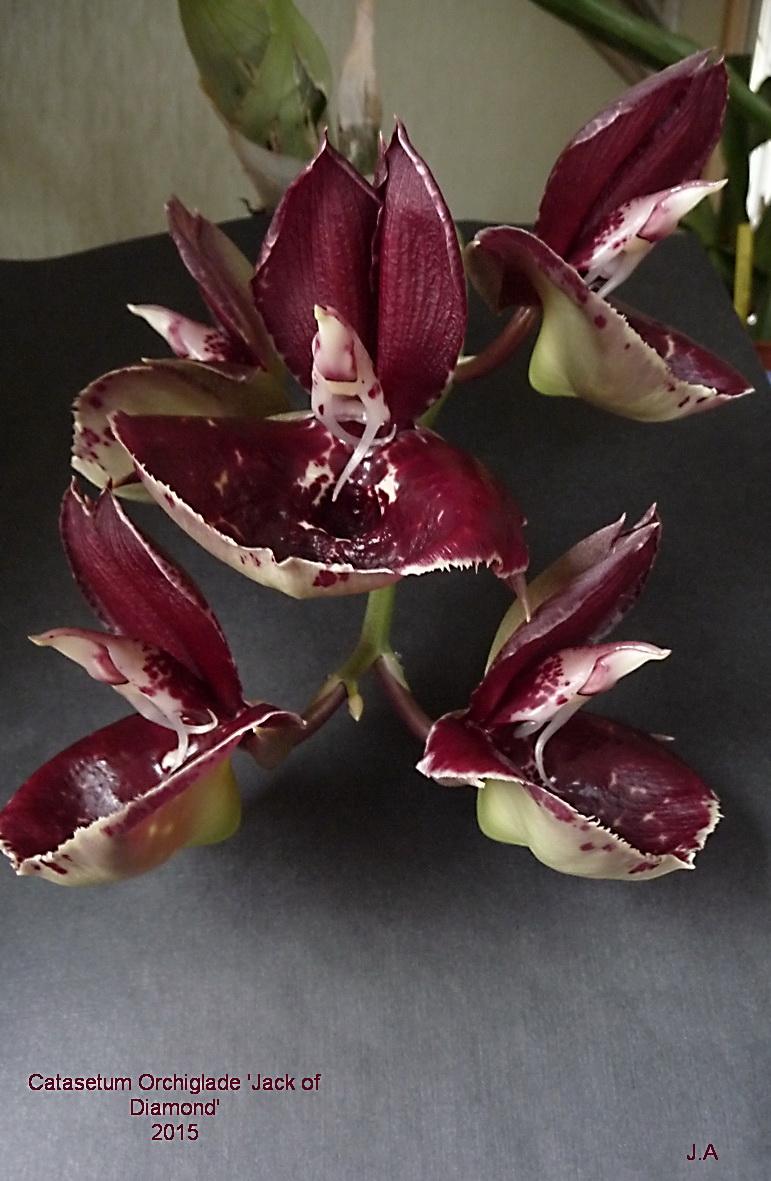 "Catasetum  Orchiglade ""Jack of Diamond"" 151230054542423168"
