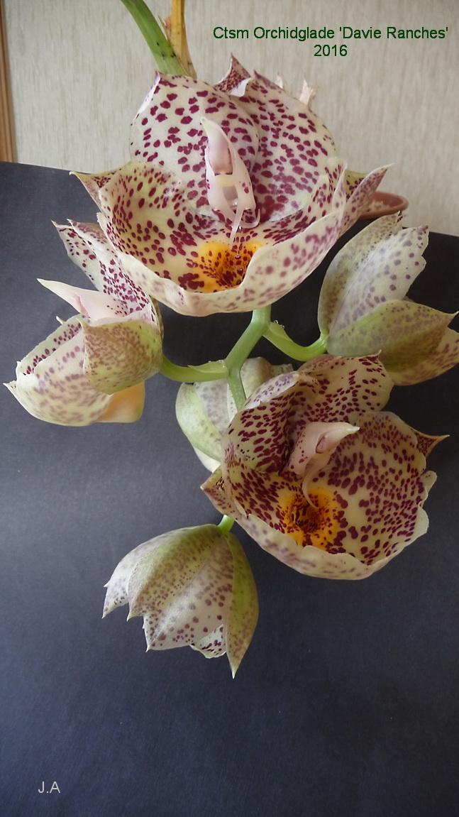 Catasetum Orchidglade 'Davie Ranches' 16010605400185858