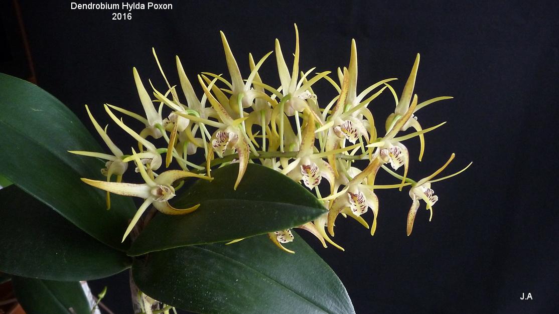 Dendrobium Hylda Poxon (speciosum x tetragonum) 16012305351592462