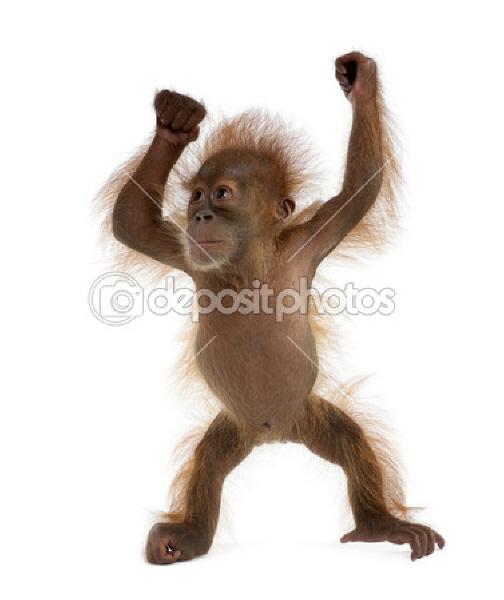 Bébé orang-outan (1)_1