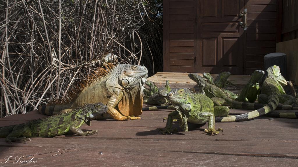 Les Iguanes : un animal préhistorique de nos jours 160219060255342224