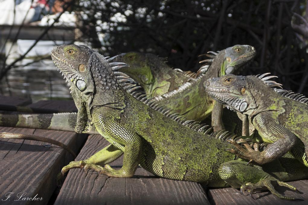 Les Iguanes : un animal préhistorique de nos jours 160219060310897771