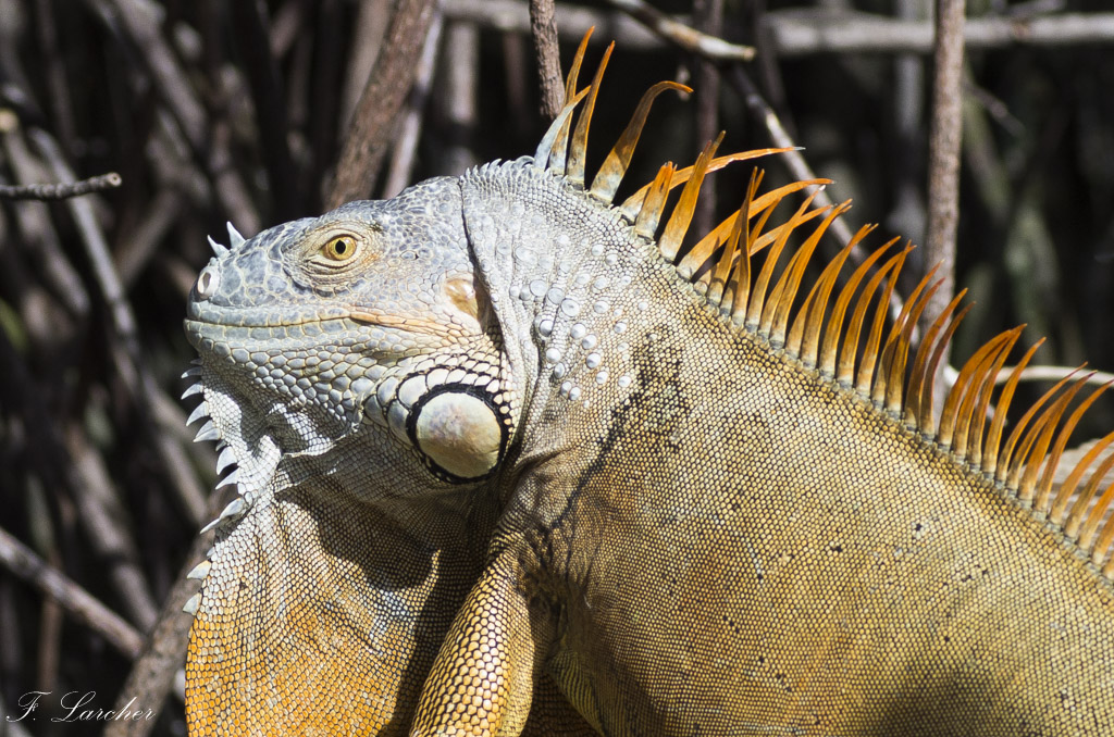 Les Iguanes : un animal préhistorique de nos jours 160219060318291387