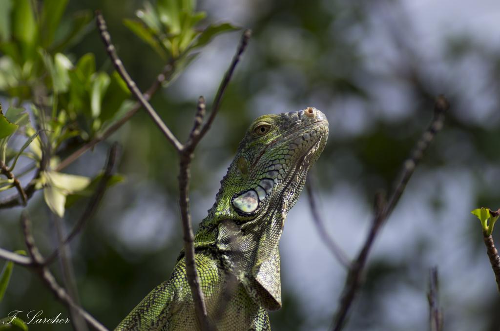 Les Iguanes : un animal préhistorique de nos jours 160219060318523103