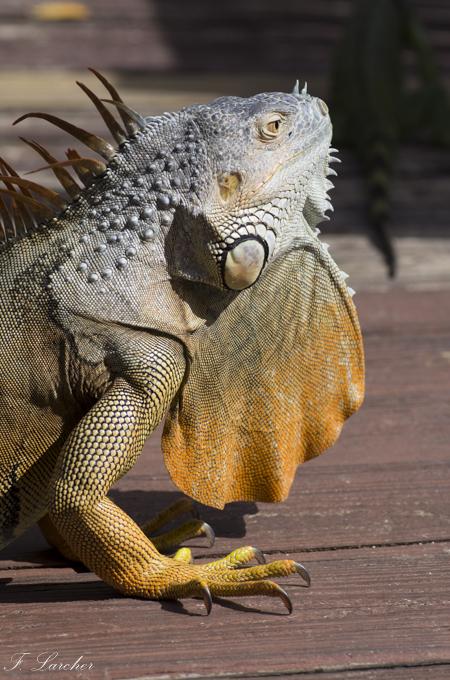 Les Iguanes : un animal préhistorique de nos jours 160219060338119221