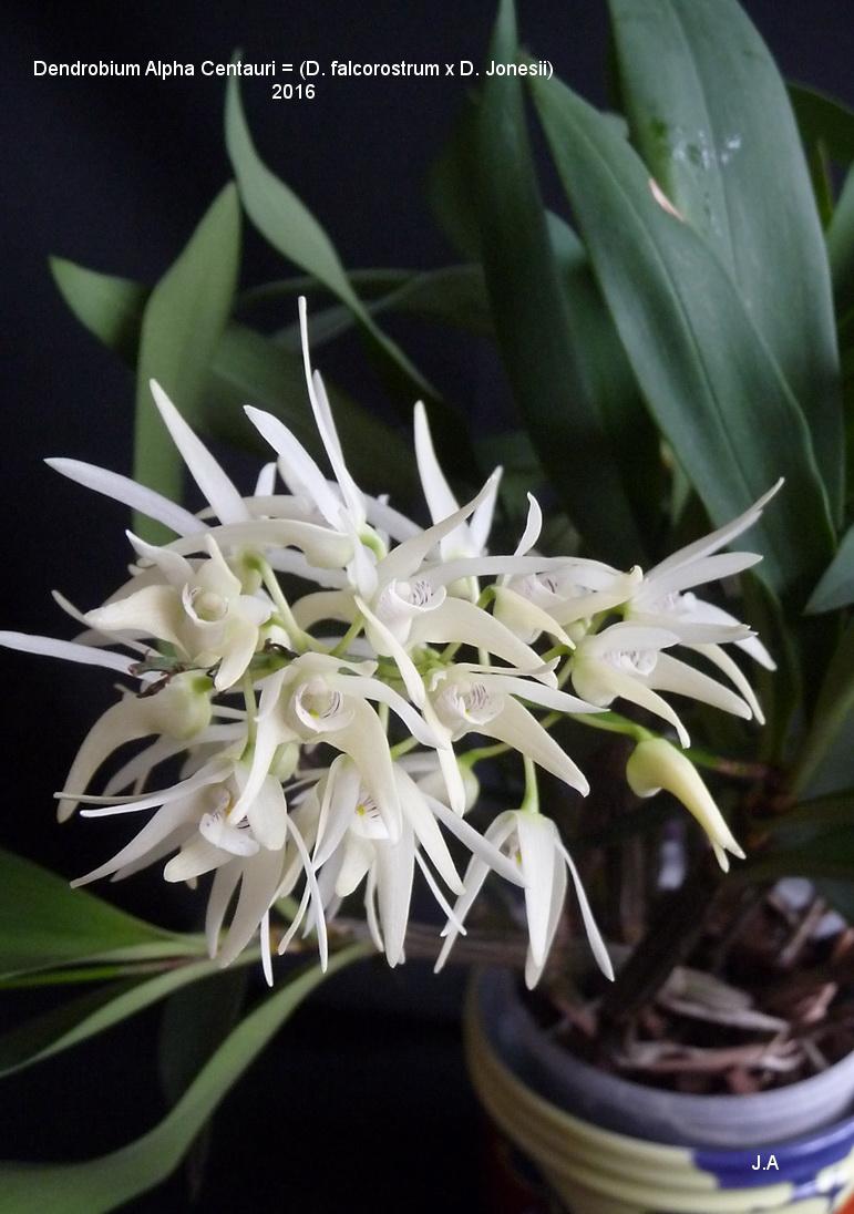 Dendrobium  Alpha Centauri (  D.falcorostrum x jonesii) 160225043902994796