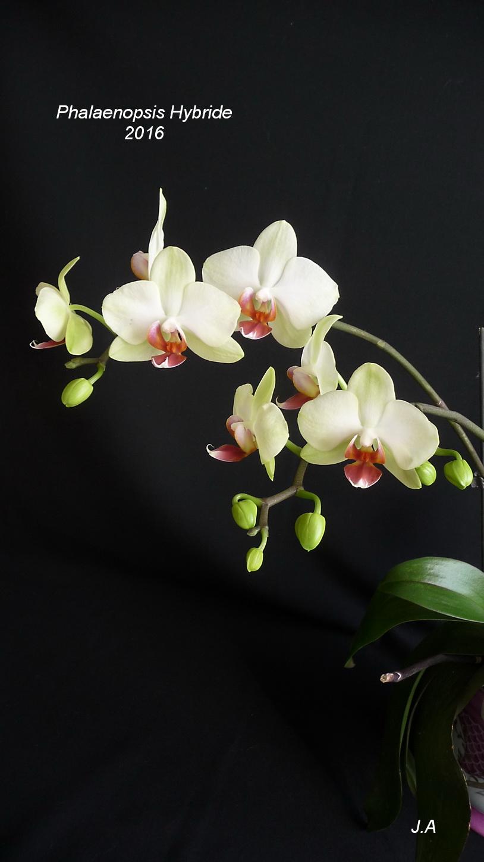 Phalaenopsis Hybride 160226011729373673