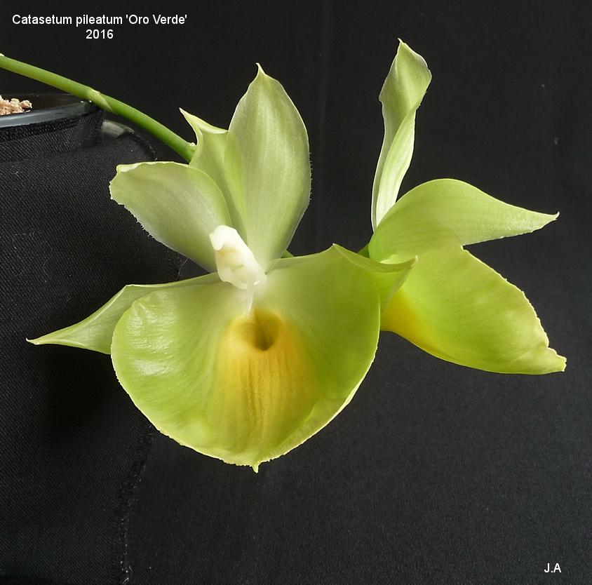 Catasetum pileatum 'Oro Verde' 160226124028536407