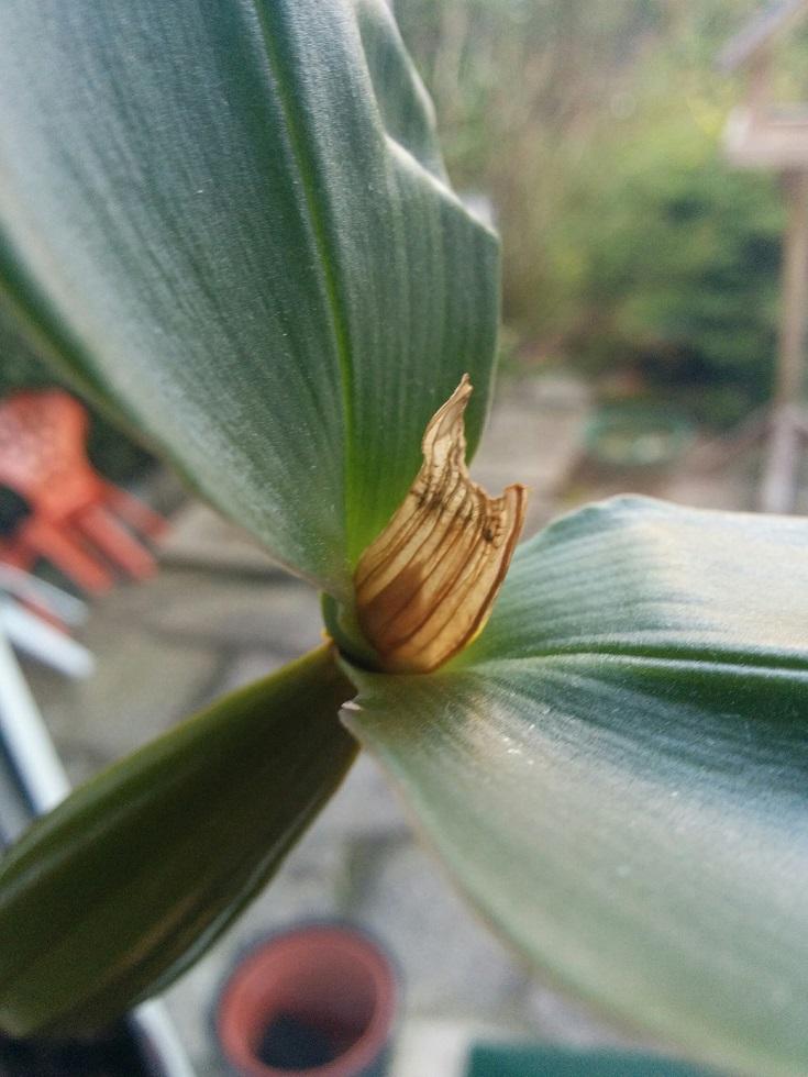 Dendrobium polysema 160316010658164713