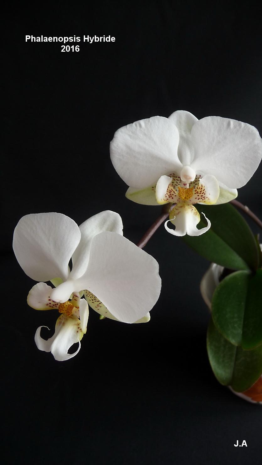 Phalaenopsis Hybride 16032602473379018