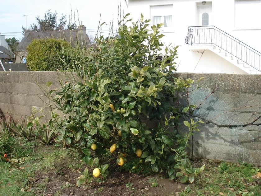 forum consulter le sujet citronnier d plum. Black Bedroom Furniture Sets. Home Design Ideas