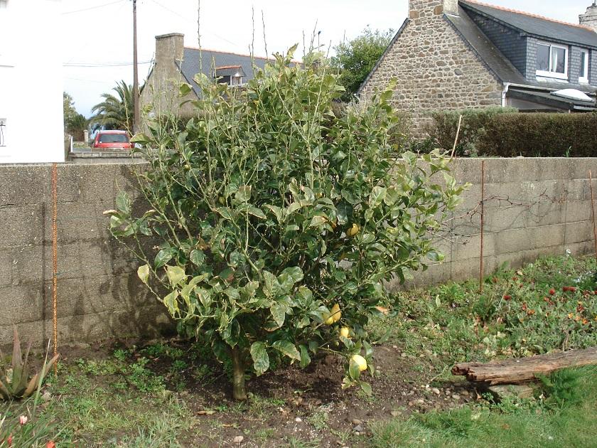 Forum consulter le sujet citronnier d plum - Comment avoir des citrons sur un citronnier ...