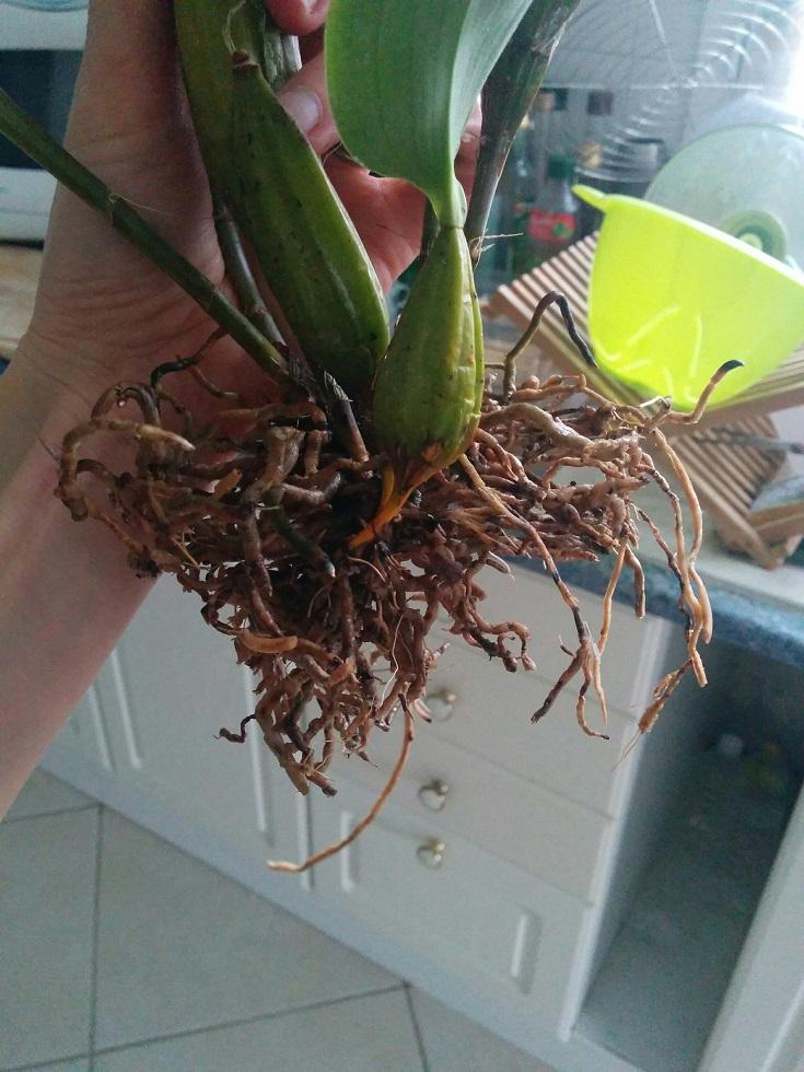 Dendrobium polysema 160403090701337901