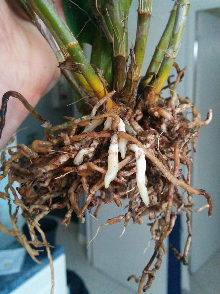 Dendrobium polysema 16040309070153551