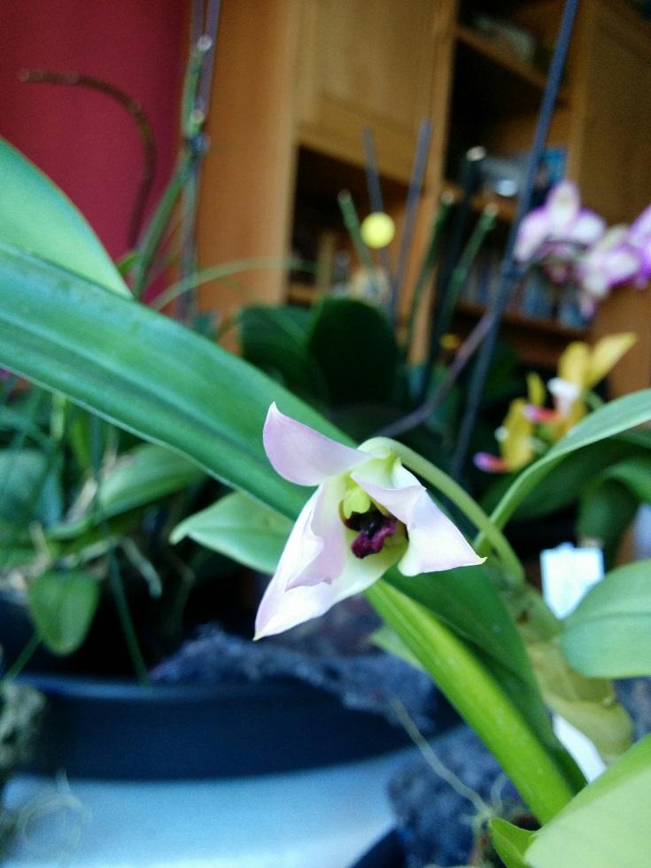 Dendrobium trantuanii 160411054314826561