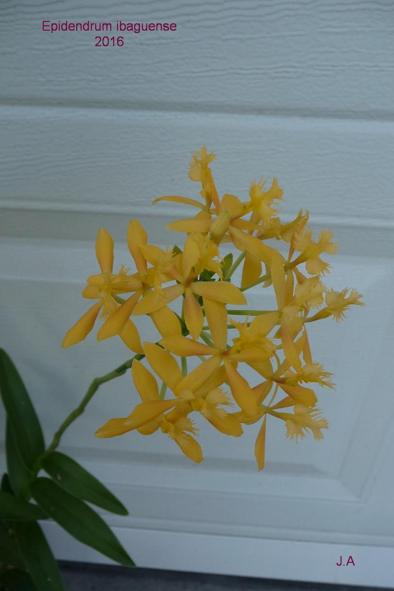 Epidendrum ibaguense 160427074627226090