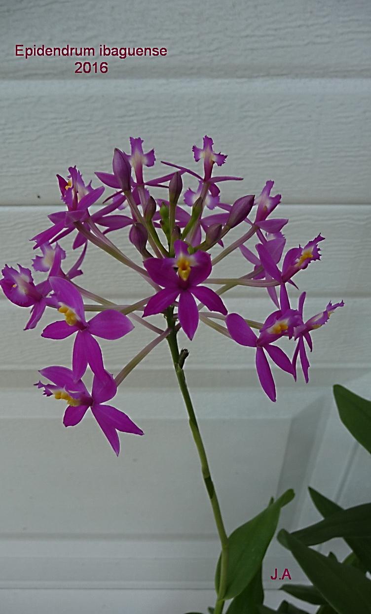 Epidendrum ibaguense 160427075015547548